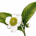 tealeaf-flower.png